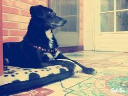 Prince, chien Labrador Retriever