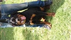 Prince, chien Rottweiler