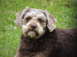 Prince, chien Briquet Griffon vendéen