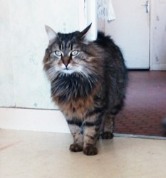 Prince, chat Maine Coon