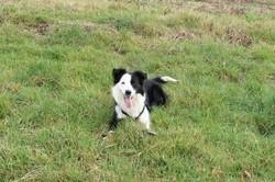 Prince, chien Border Collie
