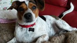 Prince, chien Jack Russell Terrier