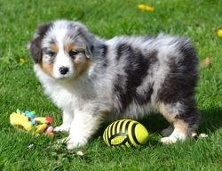 Prince, chien Berger australien
