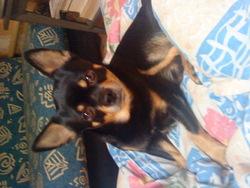 Prince, chien Chihuahua