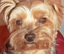 Prince, chien Yorkshire Terrier