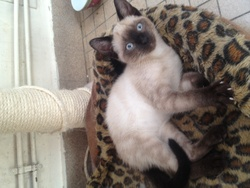 Prince, chat Siamois
