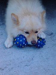 Prince, chien Spitz allemand