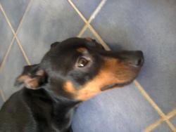 Prince, chien
