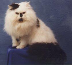 Prince à La Maison, chat Persan