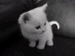 Prince Minouche, chat