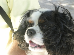 Princecharly, chien Cavalier King Charles Spaniel