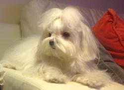 Princesa Olga, chien Bichon maltais