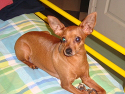 Princess, chien Pinscher