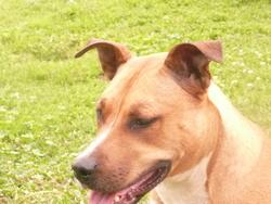 Princess, chien American Staffordshire Terrier