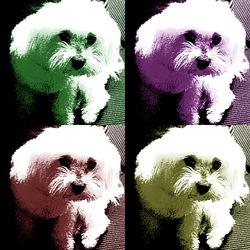 Princess, A Jamais Dans Mon Coeur, chien Bichon maltais