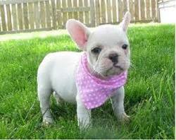 Princesse, chien Bouledogue français