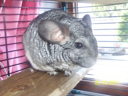 Princesse, rongeur Chinchilla