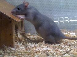 Princesse, rongeur Rat