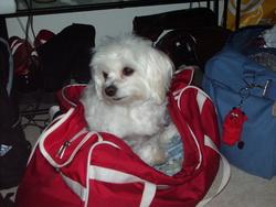 Princesse, chien Bichon maltais