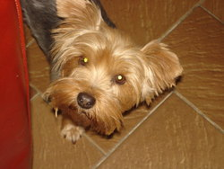 Princesse, chien Yorkshire Terrier