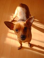 Princesse, chien Pinscher