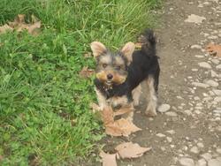 Pillule , chien Yorkshire Terrier