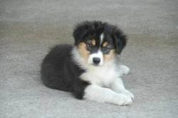 Princesse, chien Berger australien