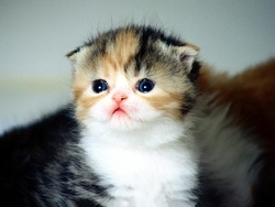 Princesse , chat Scottish Fold