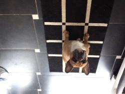 Princesse , chien Bulldog