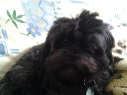 Princesse, chien Lhassa Apso