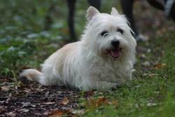 Princesse, chien West Highland White Terrier