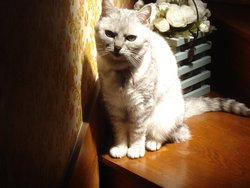Princesse, chat British Shorthair