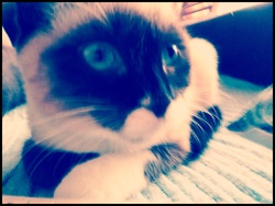 Princesse, chat Siamois