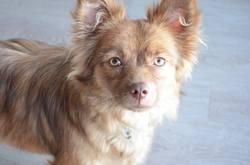 Princesse, chien Teckel