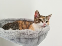 Princesse, chat Birman