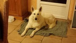 Princesse, chien Berger blanc suisse