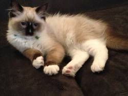 Princesse, chat Ragdoll