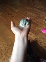 Princesse, rongeur Hamster