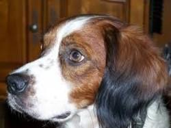 Princesse, chien Épagneul breton