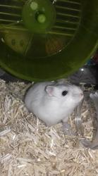 Valentine, rongeur Hamster