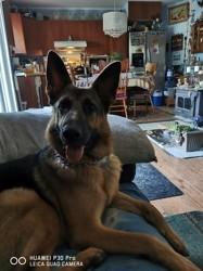 Princesse, chien Berger allemand
