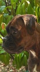 Princesse, chien Boxer