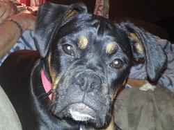 Princesse Léa, chien Boxer