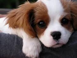 Pringles, chien Cavalier King Charles Spaniel