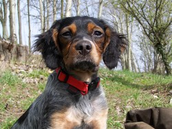 Prisca, chien Épagneul breton