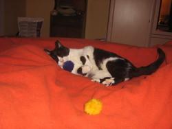 Prisca, chat Européen