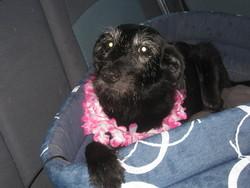 Prisca, chien Griffon nivernais