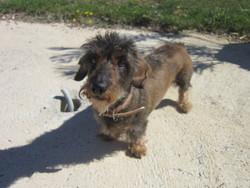 Prisca, chien Teckel