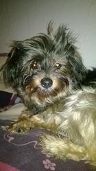 Prisca, chien Yorkshire Terrier