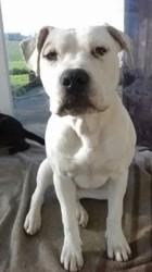 Prisca, chien Dogue argentin